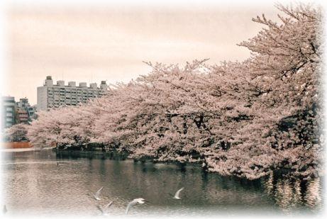 桜開花情報なら東京上野公園に注目!ハプニングや出会いを期待できるかも!