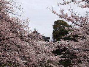桜と江戸城